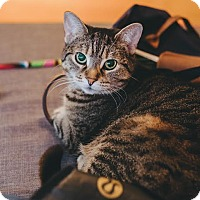 Adopt A Pet :: Lucy *declawed* - Toronto, ON