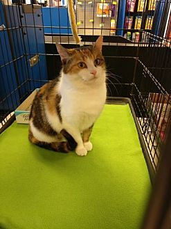 Domestic Shorthair Cat for adoption in Avon, Ohio - Leeta