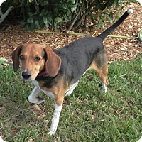 Adopt A Pet :: Buddy V - Tampa, FL