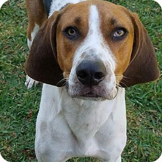 Treeing Walker Coonhound Dog for adoption in Fort Lauderdale, Florida - Scooby
