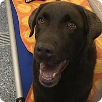 Adopt A Pet :: Opus - Hendersonville, NC