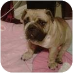 English Bulldog Dog for adoption in conyers, Georgia - Sophie