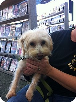 Poodle (Miniature)/Maltese Mix Dog for adoption in Youngstown, Ohio - Cookie ~ Pending Adoption