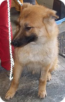 Shepherd (Unknown Type)/Collie Mix Dog for adoption in Belvidere, Illinois - Berry *SPONSORED*