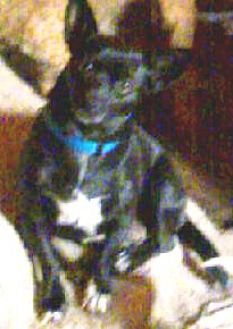 Chihuahua/Terrier (Unknown Type, Small) Mix Dog for adoption in Seward, Alaska - Carley