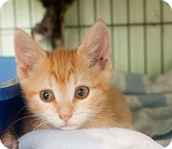 Domestic Shorthair Kitten for adoption in Shelton, Washington - Rigatoni