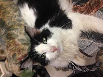 Domestic Longhair Cat for adoption in Fresno, California - Happy