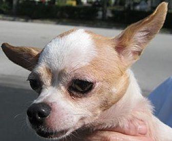 Chihuahua Dog for adoption in Satellite Beach, Florida - Teeny