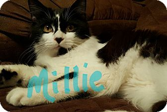 Domestic Longhair Cat for adoption in Pineville, North Carolina - Millie