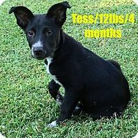 Adopt A Pet :: Tess - North Brunswick, NJ