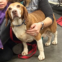 Beagle Mix Dog for adoption in Virginia Beach, Virginia - Copper