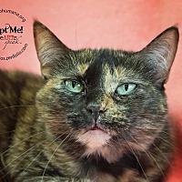 Calico Cat for adoption in Belton, Missouri - Aimee