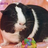 Adopt A Pet :: Odette - Santa Barbara, CA