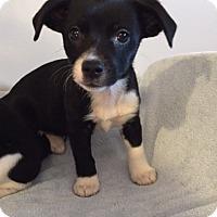 Adopt A Pet :: Chase - Bernardston, MA