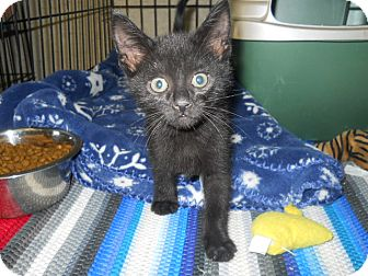 Havana Brown Cat for adoption in Medford, Wisconsin - BRAM