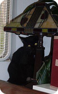 Domestic Shorthair Cat for adoption in Laguna Woods, California - binx