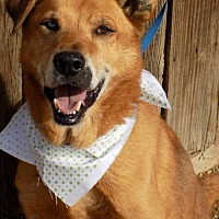Husky/Labrador Retriever Mix Dog for adoption in Apple Valley, California - Scamp
