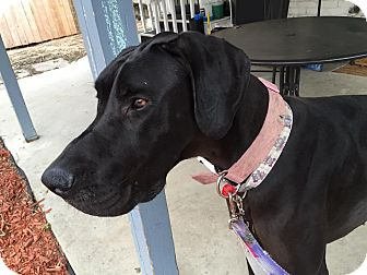 Great Dane Dog for adoption in Broomfield, Colorado - Rosie