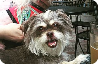 Brussels Griffon Mix Dog for adoption in Chicago, Illinois - Rosie