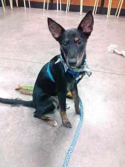 Rat Terrier/Shepherd (Unknown Type) Mix Puppy for adoption in Palm Harbor, Florida - Mowgli