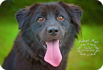 Border Collie/Labrador Retriever Mix Dog for adoption in Fort Valley, Georgia - Luigi