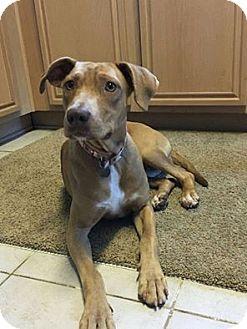 Vizsla Mix Dog for adoption in Plano, Texas - Emma