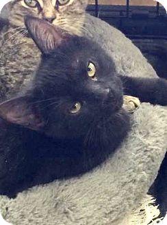 Domestic Shorthair Cat for adoption in Hamilton, Ontario - Jackie
