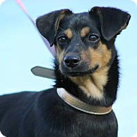 Adopt A Pet :: Carlee - SOUTHINGTON, CT