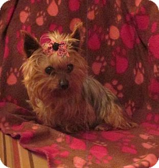 Yorkie, Yorkshire Terrier Dog for adoption in WOODSFIELD, Ohio - ANNIE