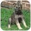 Photo 2 - German Shepherd Dog Puppy for adoption in Pike Road, Alabama - Roxie