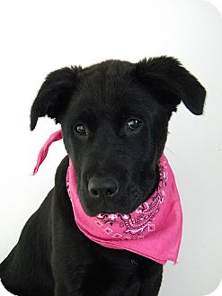 Labrador Retriever/Labrador Retriever Mix Puppy for adoption in Monteregie, Quebec - Jorja