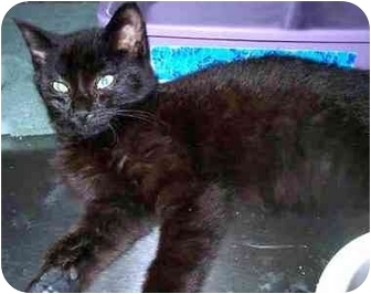 Domestic Shorthair Kitten for adoption in San Clemente, California - SULLY + March = Kitten Pair!