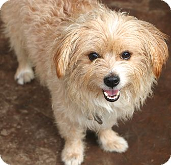 Norfolk Terrier Mix Dog for adoption in Norwalk, Connecticut - Fenwood - MEET ME
