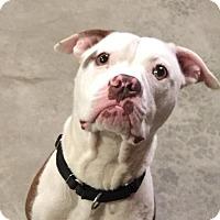 American Pit Bull Terrier Mix Dog for adoption in Davison, Michigan - Kermit