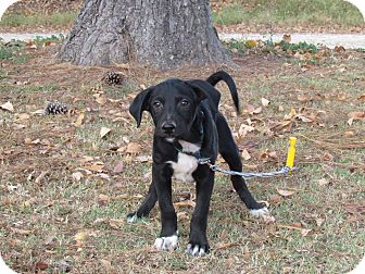 Australian Shepherd/Hound (Unknown Type) Mix Puppy for adoption in Bedminster, New Jersey - ASHEN