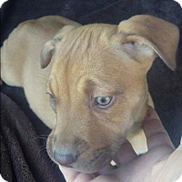Labrador Retriever/Shepherd (Unknown Type) Mix Puppy for adoption in Dana Point, California - Zoe