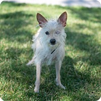 Adopt A Pet :: Asti - Henderson, NV