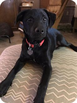 Labrador Retriever/Collie Mix Puppy for adoption in Little Rock, Arkansas - Emily