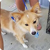Adopt A Pet :: Princess Fluffybutt - Frederick, MD