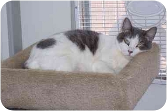 Domestic Shorthair Cat for adoption in San Pedro, California - Susie