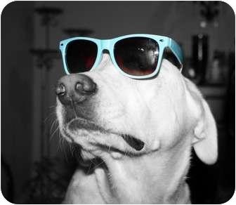 Labrador Retriever Dog for adoption in Gilbert, Arizona - CHARLIE