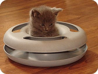 Domestic Mediumhair Kitten for adoption in Florence, Kentucky - Harri