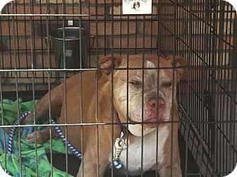 American Pit Bull Terrier Mix Dog for adoption in North Hollywood, California - Petie