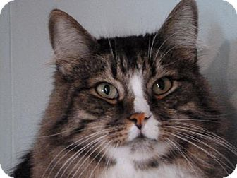 Domestic Longhair Cat for adoption in Las Cruces, New Mexico - Frito
