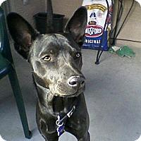Adopt A Pet :: Allie - Phoenix, AZ