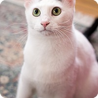 Adopt A Pet :: Snoop Kitty Kitty - Chicago, IL