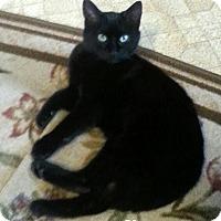Adopt A Pet :: Felix II - Bentonville, AR