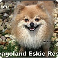 Adopt A Pet :: MIckey - Elmhurst, IL
