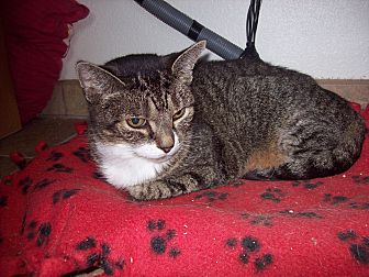 Domestic Shorthair Cat for adoption in Redwood Falls, Minnesota - Pearl