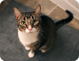 Domestic Shorthair Cat for adoption in New York, New York - Adonis